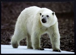 Greenland  Cards Polar Bear   ( Lot 270 ) - Groenlandia