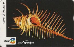 Israel, Murex Pecten, Gastropoda - Israele