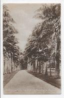 PERADENIYA - Cabbage Palm Avenue (R.B.G.) - John & Co. 67 - Sri Lanka (Ceylon)