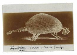 GLYPTODON EDENTE TATOU GEANT CARAPACE D APRES GAUDRY FIG 582 - PHOTO 9*6 CM - Altri