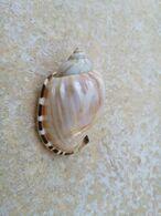 Casmaria Erinaceus 53mm. Pacifique. - Coquillages
