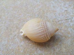 Semicassis Semigranosum.55 Mm. Tasmanie. - Coquillages