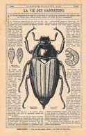 Hanneton Commun (Mololontha Vulgaris). Stampa 1930 - Prints & Engravings