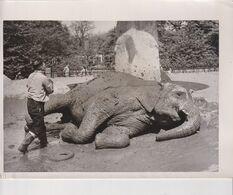 LONDON ZOO. MUD BATHS FOR ZOO ELEPHANTS. ELEPHANT // OLIFANTE // ELEFANTE. ANIMALES // ANIMALS // ANIMAUX . 21,5X16CM - Altri