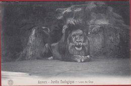 Antwerpen Anvers Kaapse Leeuw Lion Du Cap  Dierentuin Zoo Jardin Zoologique Tiergarten (very Good Condition) G. Hermans - Antwerpen
