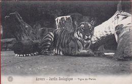 Antwerpen Anvers Perzische Tijger Tigre De Perse Dierentuin Zoo Jardin Zoologique Tiergarten G. Hermans - Antwerpen