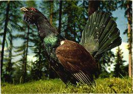 Bird, Mountain-cock - Oiseaux