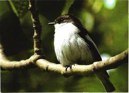 Bird, Ficedula Hypoleuca, 2006 - Oiseaux