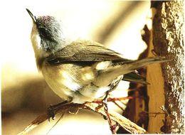 Bird, Sylvia Curruca, 2006 - Oiseaux