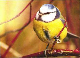 Bird, Parus Caeruleus, 2006 - Oiseaux