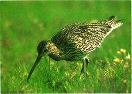 Bird, Grass, Gorsser Brachvogel - Oiseaux