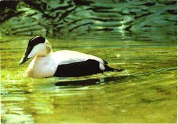 Bird, European Eider - Oiseaux