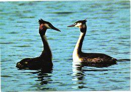 Bird, Swimming Birds - Oiseaux