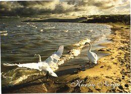 Bird, Swans - Oiseaux