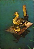 Bird, Duck - Oiseaux