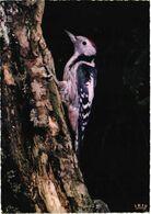 Bird, Middle Greenwood-pecker - Oiseaux