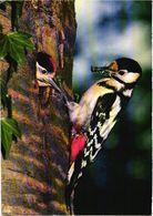 Bird, Dryobates Major L., Spotted Woodpecker - Oiseaux