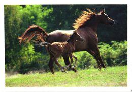 Running Arab Horse And Foal, Mondo Arabo - Chevaux