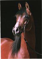 Looking Horse - Paarden