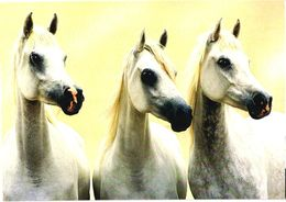 Three White Horses - Chevaux