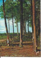 CPM France A L'orée De La Forêt De Pins Récolte De La Résine - Bäume