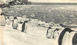 A308-dans Le Sillage De Bougainville -iles Falkland - Pingouins -pingouin  -publicité Santé -ionyl -timbres- Philatelie - Falkland Islands