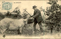 FRANCE - Carte Postale - En Périgord - La Recherche De La Truffe Avec Le Cochon - L 67185 - Agriculture