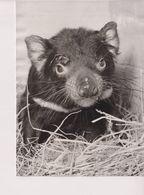 LONDON ZOO. TASMANIAN DEVIL. - ANIMALES // ANIMALS // ANIMAUX . 16,5X12CM - Orte