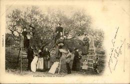 FRANCE - Carte Postale - Cueillette Des Olives En Provence - L 67318 - Cultures