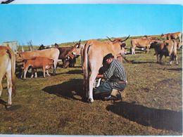 Carte Postale Des Monts De L'Aubrac, Traite Des Vaches - Frankrijk
