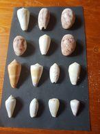 FILIPPINE 14pz. - Seashells & Snail-shells
