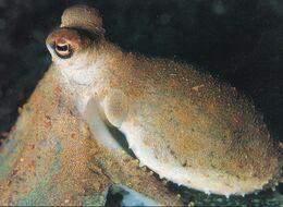 Octopus In Lembeh Straits Sulawesh Indonesia Postcard - Vissen & Schaaldieren