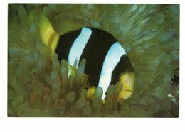 Aquarium De NOUMEA - Poisson Clown à 2 Bandes - Fish & Shellfish