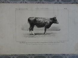 GRAVURE LITOGRAPHIE  Race BRETONNE 1856 CONCOURS DE PARIS VACHE KERJEGU FERME ECOLE DE TREVAREZ - Prenten & Gravure