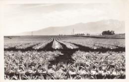 Island Of Oahu Pineapple Plantation, Hawaii C1940s/50s Vintage KH Ltd Real Photo #S-512 Postcard - Oahu