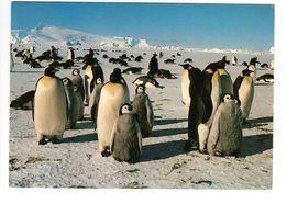 Manchots Empereurs - Terres Australes Et Antartiques Françaises - Terre Adélie - Animals