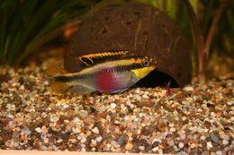 Pelvicachromis Kribensis 6 Cm - Aquariophilie