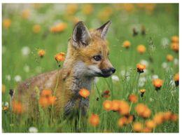 (K 2) Zoo Animals - Fox - Renard - Animales