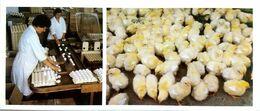 #23   Poultry Farm 'Ezhvinsk'  Of Syktyvkar, Komi Republic - Arctic RUSSIA - Big Size Postcard 1984 - Farms