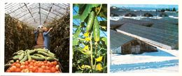 #23  Greenhouse Agriculture In Komi Republic, Cultivation Vegetables - Arctic RUSSIA - Big Size Postcard 1984 - Cultivation