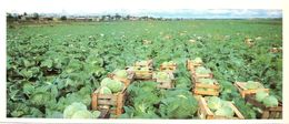 #23  Cultivation Vegetables Agriculture In Komi Republic, - Arctic RUSSIA - Big Size Postcard 1984 - Cultivation