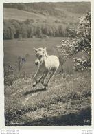 AK  Fohlen  Pferd Popp 2443 Übermut - Paarden