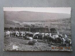 CP 12 Aveyron  - Pâturage Dans L' AUBRAC  , Une Vacherie , Troupeau De Vaches Au Pré - Carte Mys Valence D'Agen - Other Municipalities