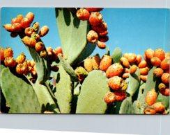 Prickly Pear Cactus - Sukkulenten