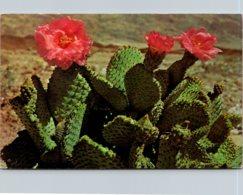 Magenta Beaver Cactus In Bloom - Sukkulenten