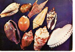 CP Coquillage Seashells Philippines Indo Pacific Pacifique Inde Marin Marine Nature Gauvin Paris - Pesci E Crostacei