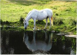 Drinking Horse - Cavalli