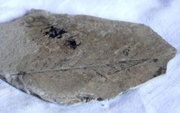 F 03 - FOSSILE - FOGLIE - Dim Mm. 80x140 - Fossils