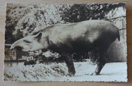 Antwerpen Anvers Zoo Braziliaanse Tapir Du Bresil Tapirus Terrestris Linnaeus - Antwerpen