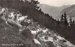 Ziegenherde - Troupeau De Chèvres - Schweiz